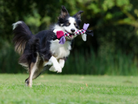 border-collie-672633_1920
